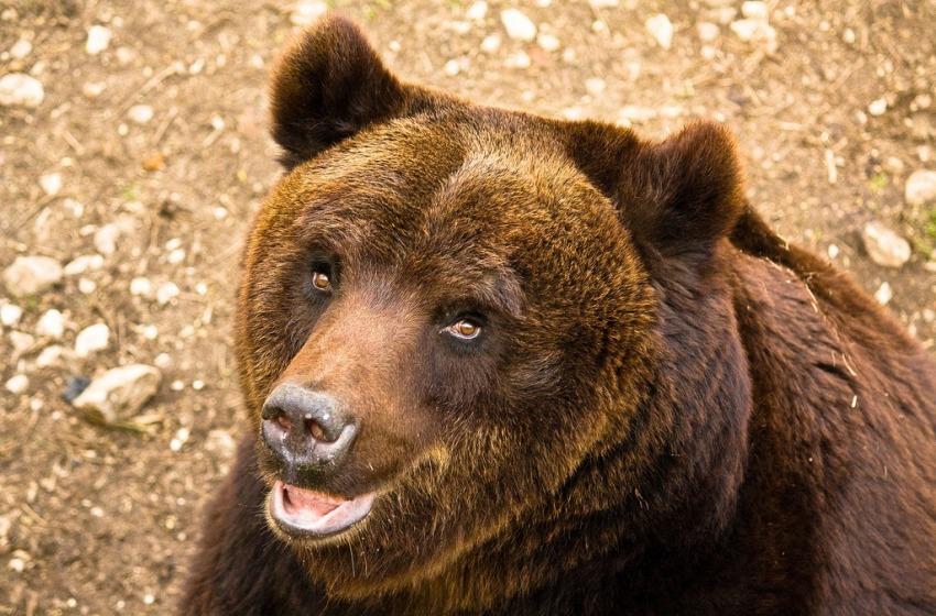 Se l'orso marsicano va a spasso per le vie di Pescocostanzo
