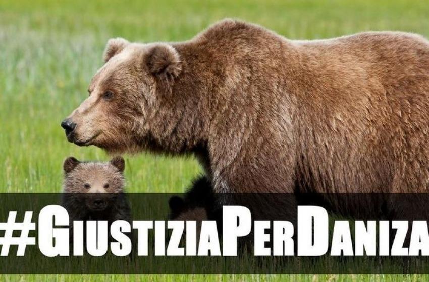 Orrore in Trentino. Mamma orsa uccisa durante la cattura