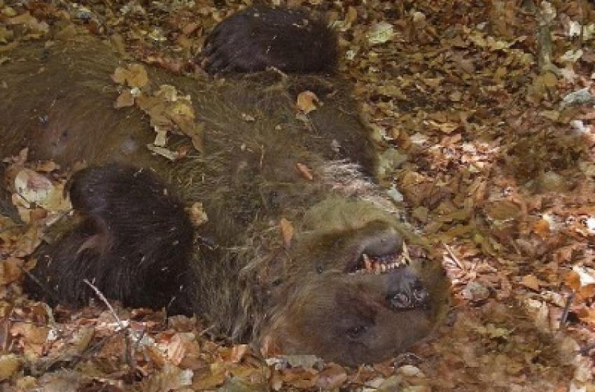 Orso ucciso a Pettorano, c'è un indagato dalla procura