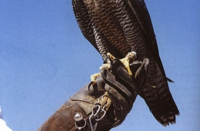 Spoltore caccia i piccioni dal centro storico con i falchi