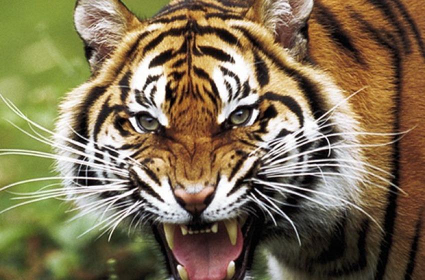 Alla cassa come una Tigre