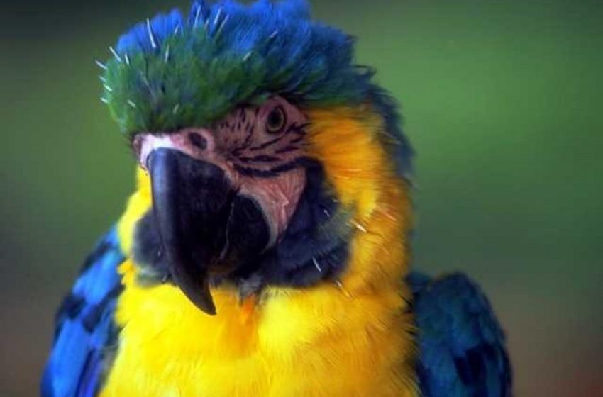 Traffico di animali: fermato sull'A14 con 101 pappagalli in auto