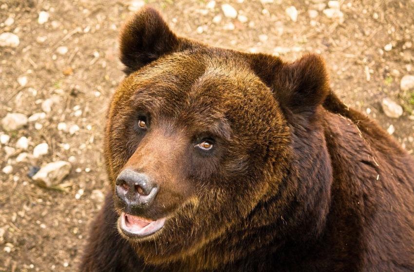 Tutela dell'orso marsicano, passi avanti per la banca del seme