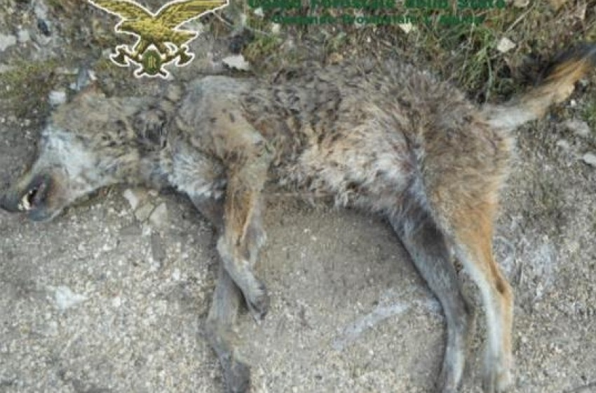 Carcassa di lupo in un'area esterna del Pnalm