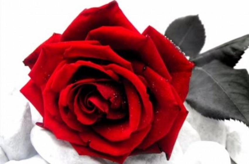 Rose rosse per il Furher