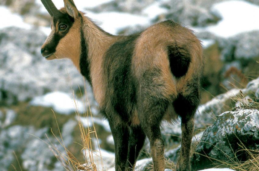 Record di Camosci sulla catena del Gran Sasso: sono 622 gli esemplari
