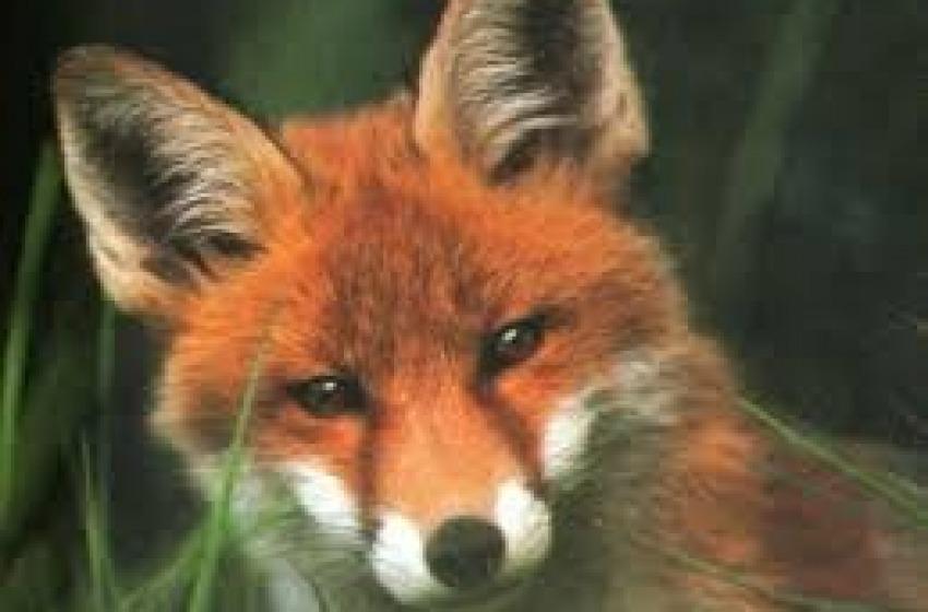 Parco Nazionale d'Abruzzo. Uccise dieci volpi coi bocconi avvelenati.