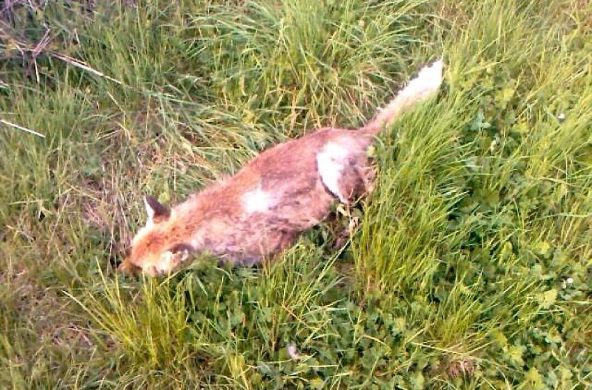 La Forestale salva un cane dal veleno ma non 4 volpi