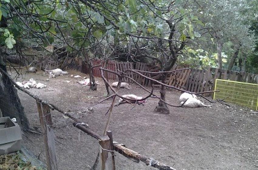 Branco di lupi affamati fa strage di pecore ad Abbateggio