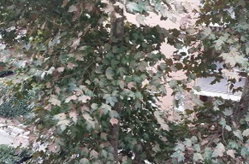 """Francavilla, cittadini inferociti con Luciani: """"Gli alberi non si toccano"""""""