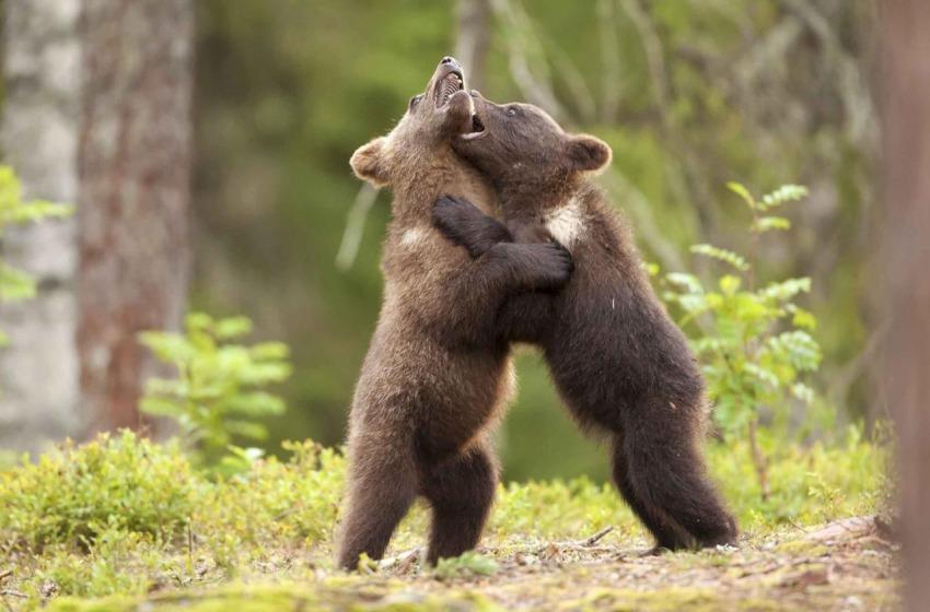 Miracolo della Natura in Abruzzo: nel 2015 nati sei cuccioli di orso marsicano