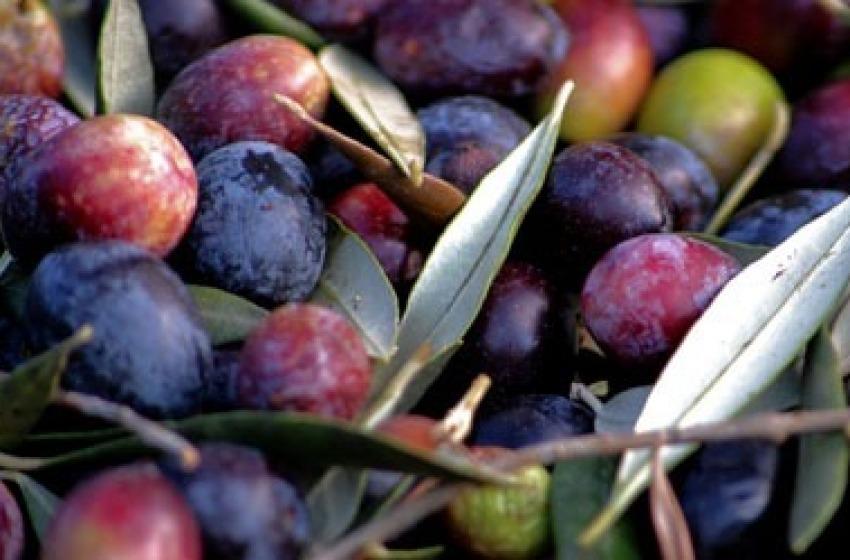 Agricoltura. Annata record per l'olio d'Abruzzo ma c'è il rischio frodi dalla Tunisia