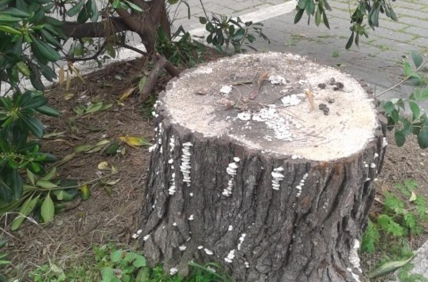 """Anche il WWF considera """"insopportabile"""" il taglio degli alberi lungo """"Viale dei Pini"""""""
