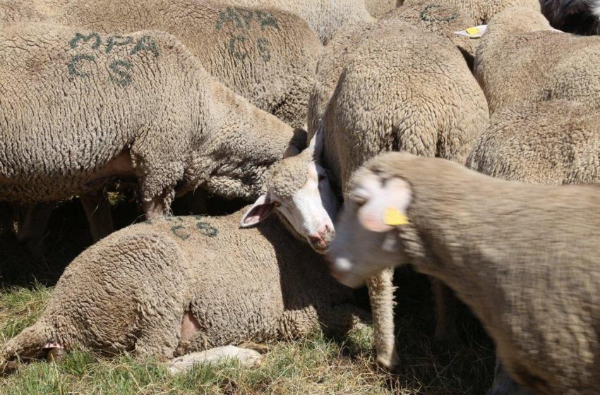 Ladri di bestiame come nel Far West. Succede a Penne dove sono sparite 55 pecore
