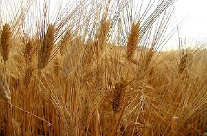 Sequestrati oltre 6mila quintali di grano duro contaminato da micotossine