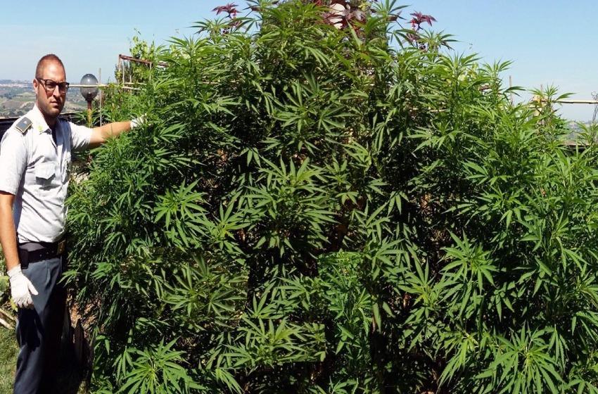 La Finanza scopre piantagione di marijuana nelle campagne vastesi grazie al Drone