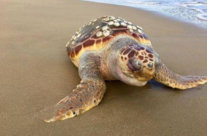 Abruzzo: troppe tartarughe stanno morendo e la colpa è del nostro inquinamento