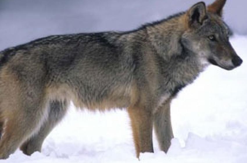 Anche la Regione Abruzzo è d'accordo: giù le mani dai lupi!
