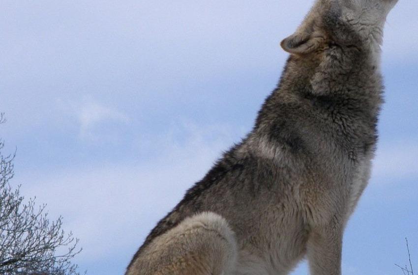 """Le Regioni hanno detto """"no"""" all'abbattimento selettivo dei lupi"""
