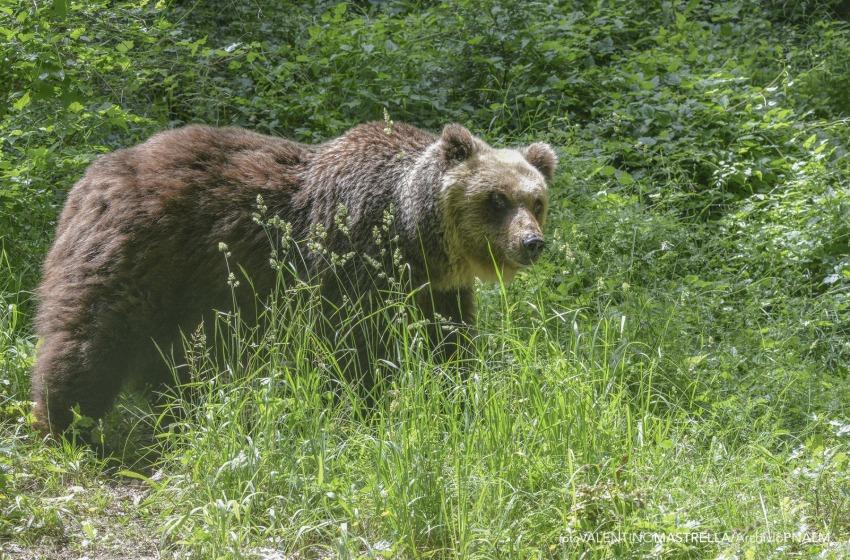 Parco: e' deceduto un orso marsicano durante le operazioni di cattura