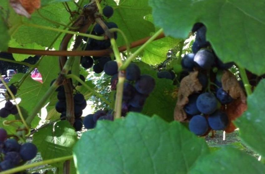 Cala la produzione, sale il costo del vino