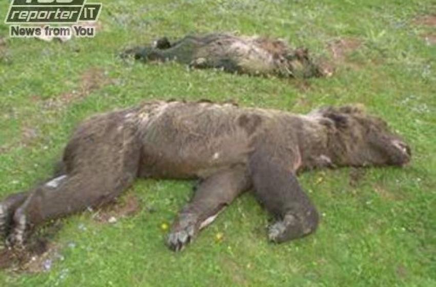 Orrore nel Parco Nazionale d'Abruzzo: tre orsi annegano in vasca raccolta d'acqua