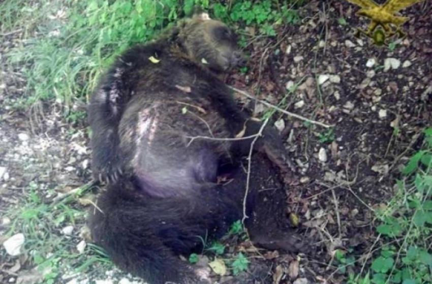 Orso ucciso a Pettorano sul Gizio. Confermata condanna per l'allevatore
