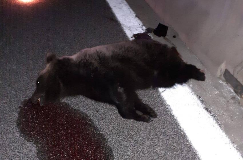 Orrore in Abruzzo. Orso investito e ucciso in Autostrada