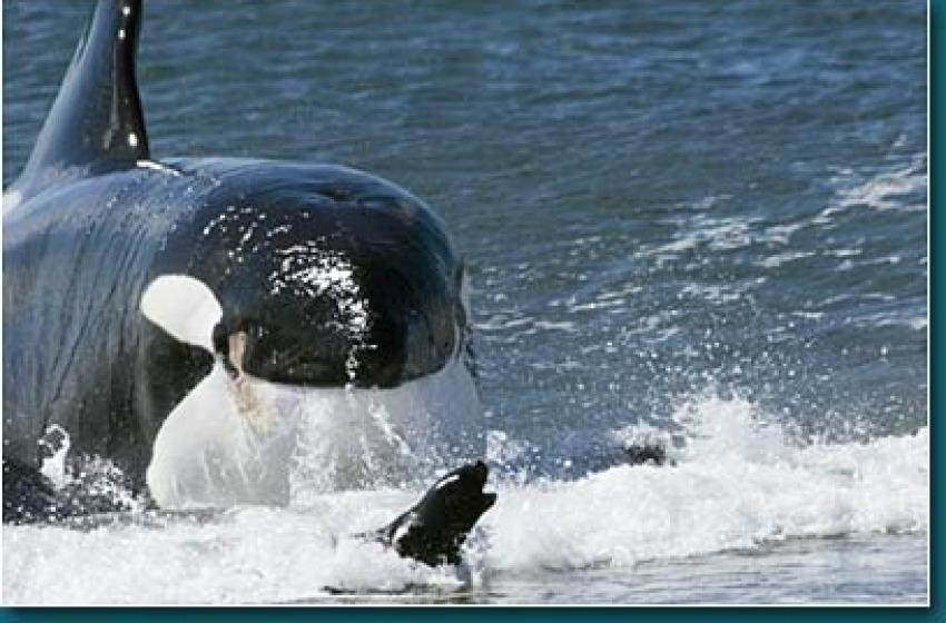 Alla scoperta dell'orca