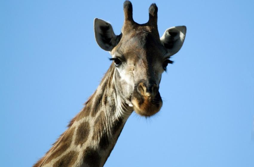 Autopsia sulla giraffa uccisa