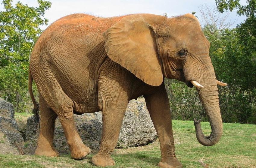 Elefante pascola a L'Aquila