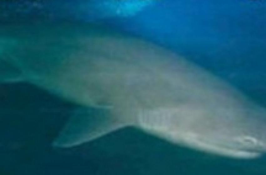 """Pescato al largo un gigantesco squalo """"Manzo"""""""