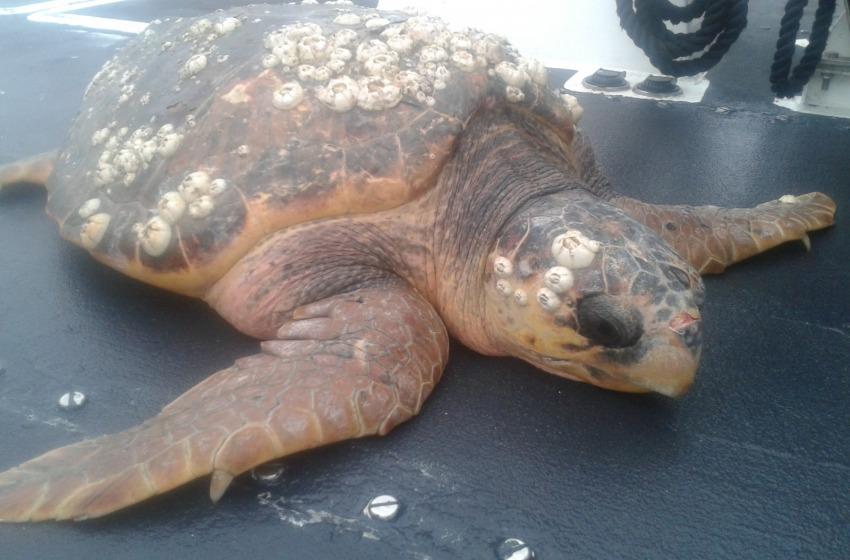 Tartaruga di 40 Kg liberata in mare. Era nelle reti di un peschereccio